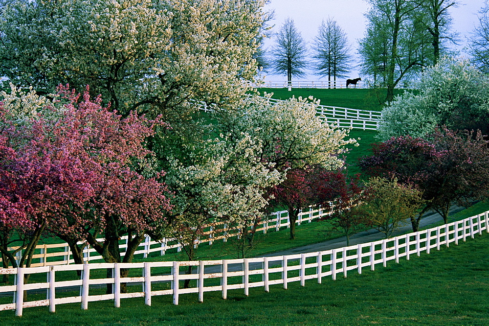 A stallion is surrounded by white fences and flowering crabapple and cherry trees on Manchester Farm in Lexington, KY.