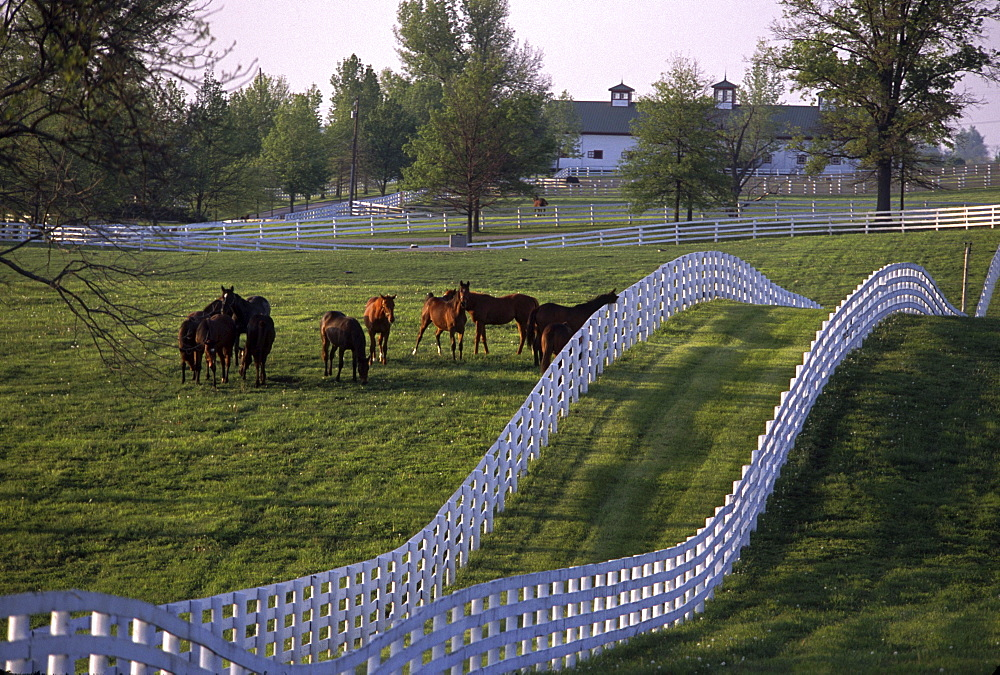 White fences glisten as they crisscross the rolling, emerald fields, while the solid, handsome old barns nurture crops of potential champions. No other breeder-owner in the history of American racing authored dominance to the degree that Calumet Farm did, reigning supreme during the 1940s and 1950s. The farm has survived the turbulence of the intervening years so that in the1990s Calumet has been the breeder of a record ninth Kentucky Derby winner and has raced a seventh Horse of the Year champion. Various misfortunes relative to the management of the farm and the family who for years owned it threatened the existence of Calumet, but in 1992 its stability was retrieved when Henryk de Kwiatkowski stepped forward to secure the purchase of the farm at auction. The legend of Calumet was launched in 1924 by William Monroe Wright, founder of the Calumet Baking Powder Co. Standardbred horses, racing pacers and trotters, were the first inhabitants of the white and red barns, with their stately cupolas and burnished wood fittings, were of that breed. The Hollywood film, Seabiscuit, was partly filmed on it's grounds.
