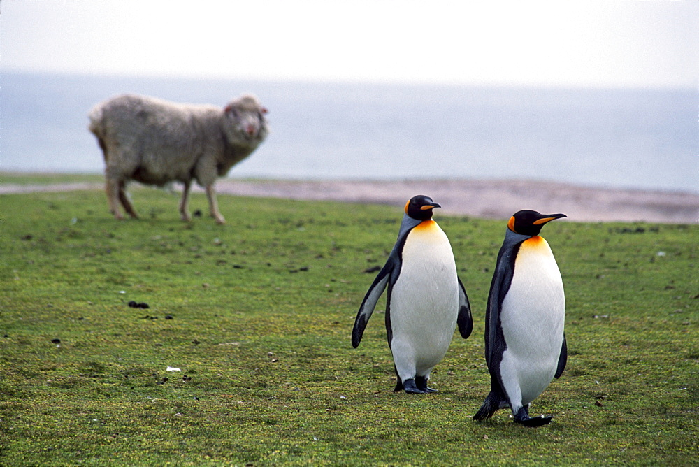 King penguins stroll past a grazing sheep at a rookery on the Falkland Islands.