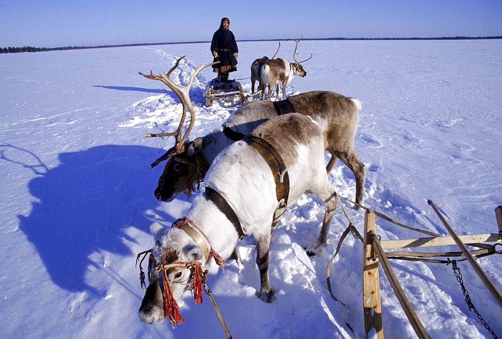 A Khanty reindeer herder stands on his sled to survey the surrounding expanse.