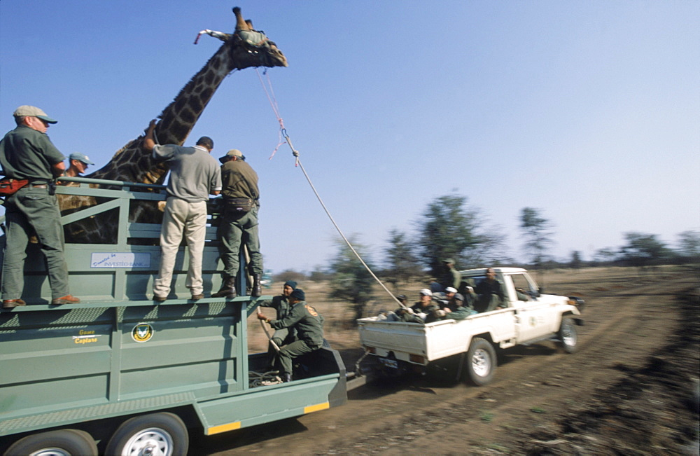 Once tranquilised, the giraffe is slowed by handlers with ropes, tripped, blindfolded, and placed in a mobile crush pen, before being loaded into a larger vehicle for relocation.