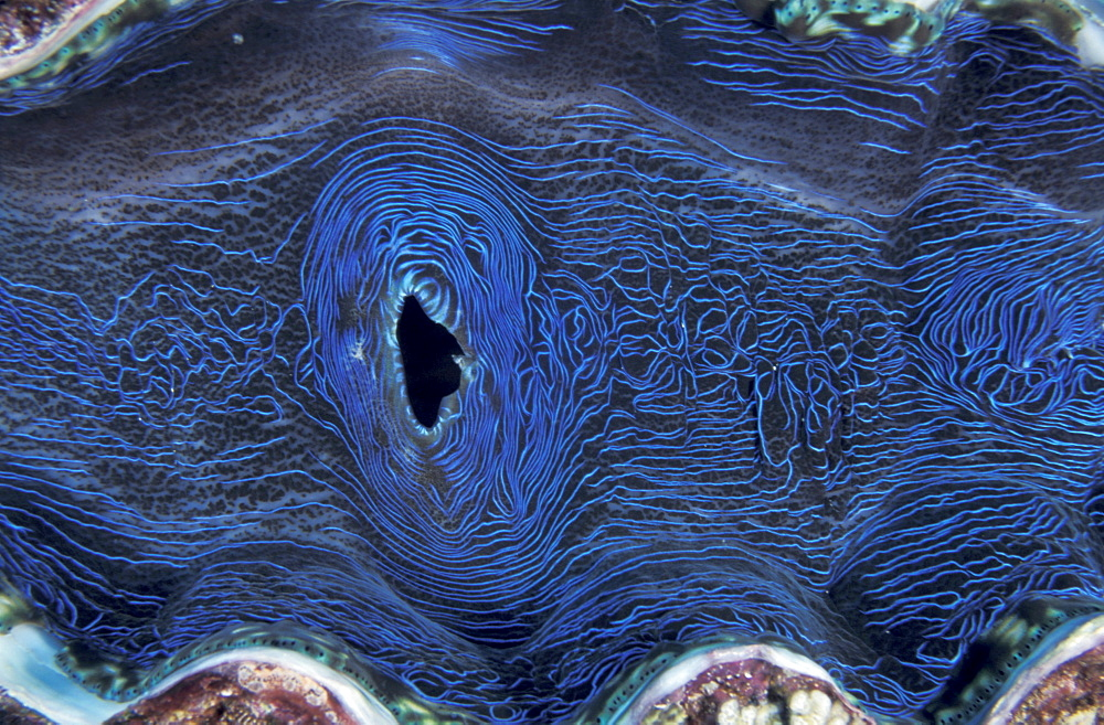 Giant clam Tridacna deresa Great Barrier Reef & Coral Sea, Australia