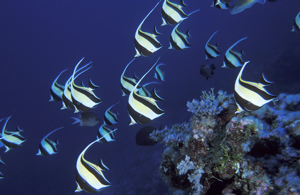 School of moorish idol Zanclus cornutus Great Barrier Reef & Coral Sea, Australia