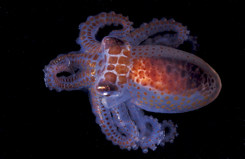Planktonic octopus 10mm Octopus sp. Great Barrier Reef & Coral Sea, Australia