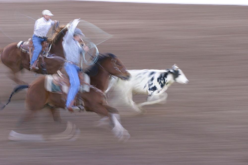 professional rodeo cowboys calf roping.