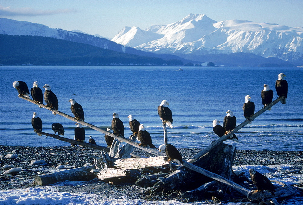 A council of eagles (Haliaeetus leucocephalus) perches on driftwood along the pebbly shore of Alaska's Kachemak Bay.