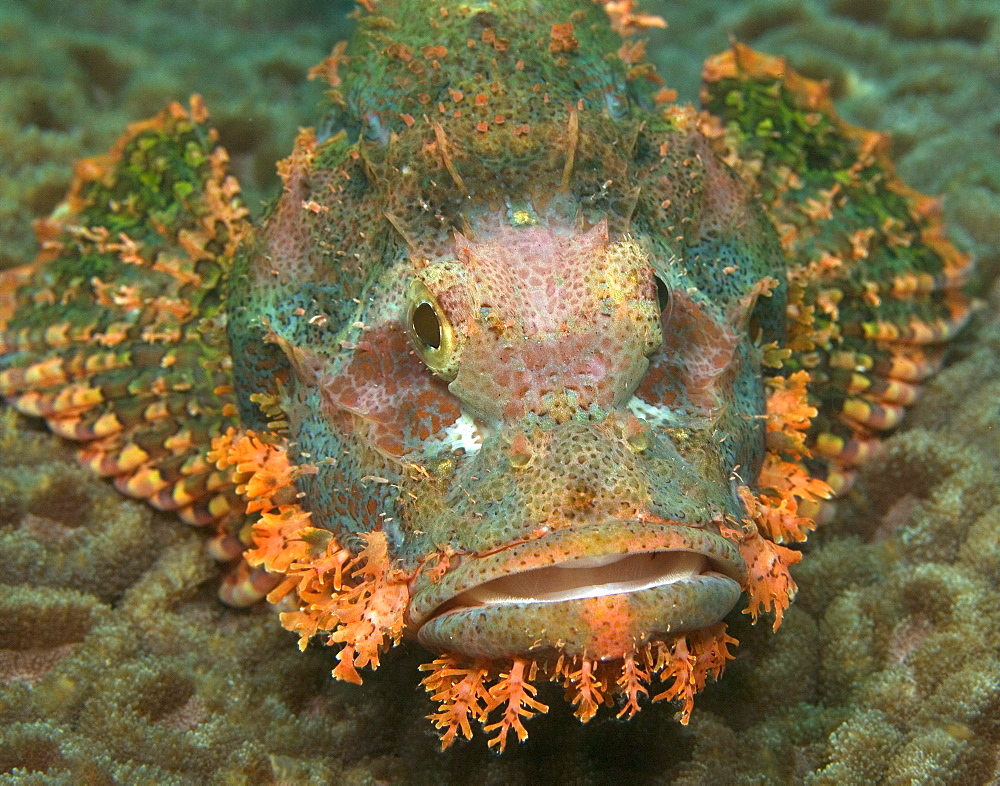 ornate stonefish on moon coral, Sulawesi, Indonesia