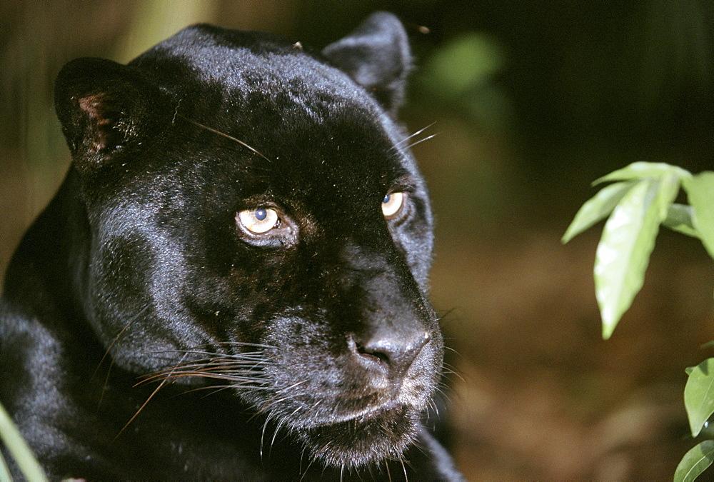 Close-up of black panther (Panthera onca) face