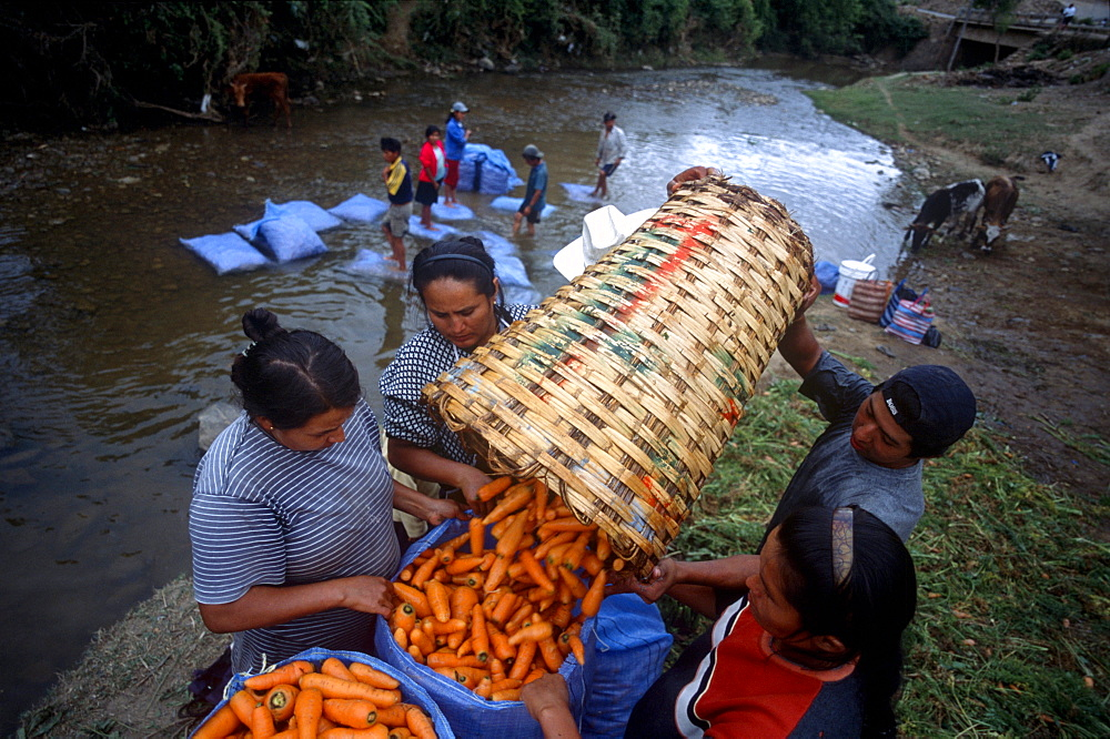 """Campesinos wash for market freshly-picked carrots in a river in Los Negros, Bolivia Friday, Nov. 12, 2004. Ernesto """"Che"""" Guevara was captured by the Bolivian army in 1967 in a nearby valley and executed in La Higuera days later. His body was put on public display in the laundry room of the Vallegrande hospital, then secretly buried under the air strip for 30 years. Guevara and fellow communist guerillas were attempting to launch a continent-wide revolution modeled on Guevara's success in Cuba in the late 1950s. The Bolivian government recently began promoting the area where he fought, was captured, killed and burried for 30 years as the """"Ruta del Che,"""" or Che's Route."""