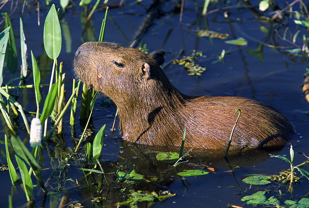 A capybara, the largest rodent in the world, in the Pantanal, the largest freshwater estuary in the world. The Pantanal is located in western Brazil, along the Paraguay River and adjacent to to the Bolivian border.