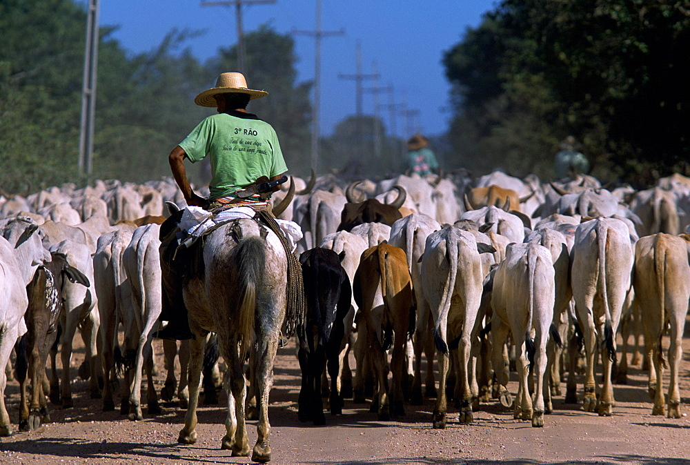 A cattle drive in the Pantanal, the largest freshwater estuary in the world. The Pantanal is located in western Brazil, along the Paraguay River and adjacent to to the Bolivian border.