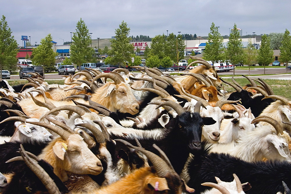 The weed eating goats of Ewe4ic Ecological Services are herded across the street from a mall in Cheyenne, Wyoming. The herd of approxiamately 1200 goats travels all over the western U.S. with their owner, Lani Malmberg. Goats are an ecologically sound method of weed clearing and land management.