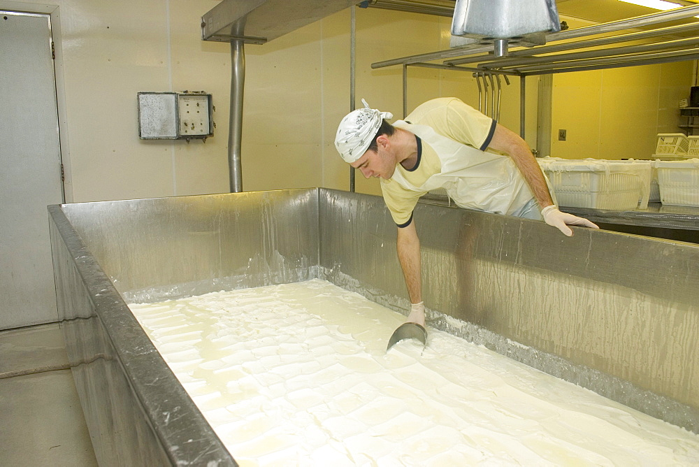 Scooping cheese curd to make goat cheese at Capriole, Inc, one of America's top cheesemakers, located in Greenville, Indiana