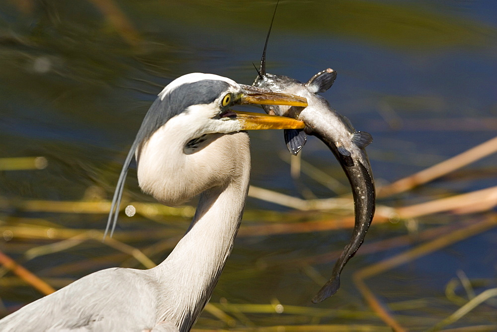 A great blue heron proudly displays a walking catfish it snares while feeding in the Everglades National Park in south Florida.