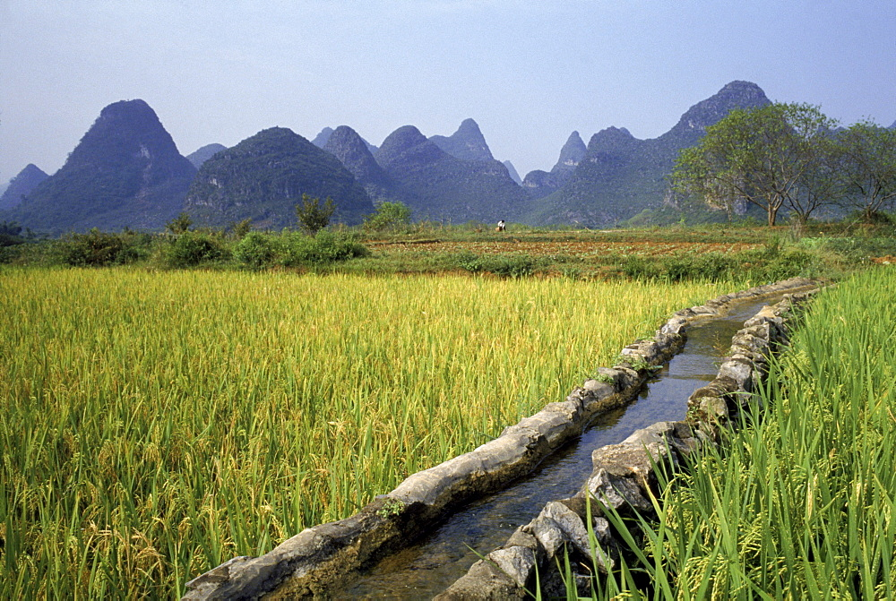 Rice farming in China.