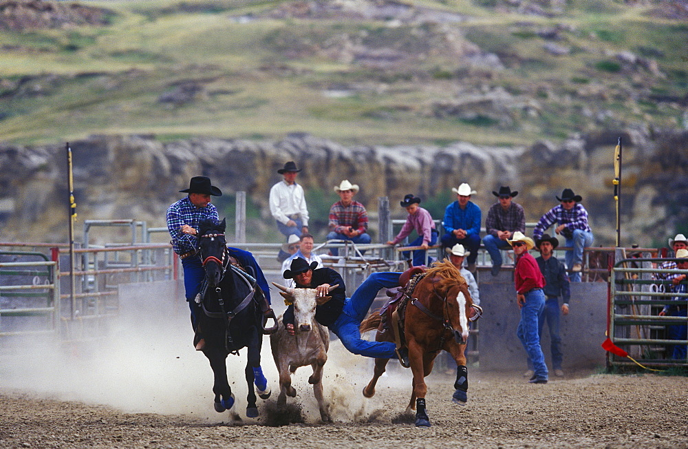 Cowboys compete at steer wrestling at the Writing-On-Stone rodeo in Alberta, Canada. Both Southern Alberta's cowboy culture and stunning geography were showcased in the Oscar winning movie Brokeback Mountain.