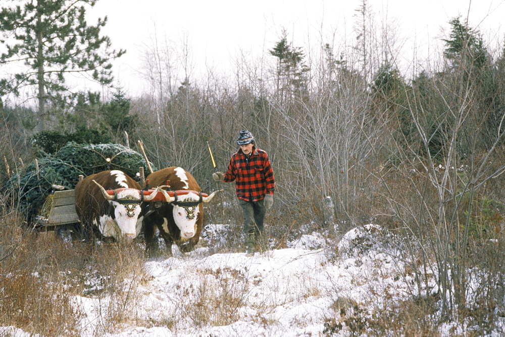 A team of oxen pull Christmas trees for a rural farm and woodlands of Lunenburg, Nova Scotia, Canada.