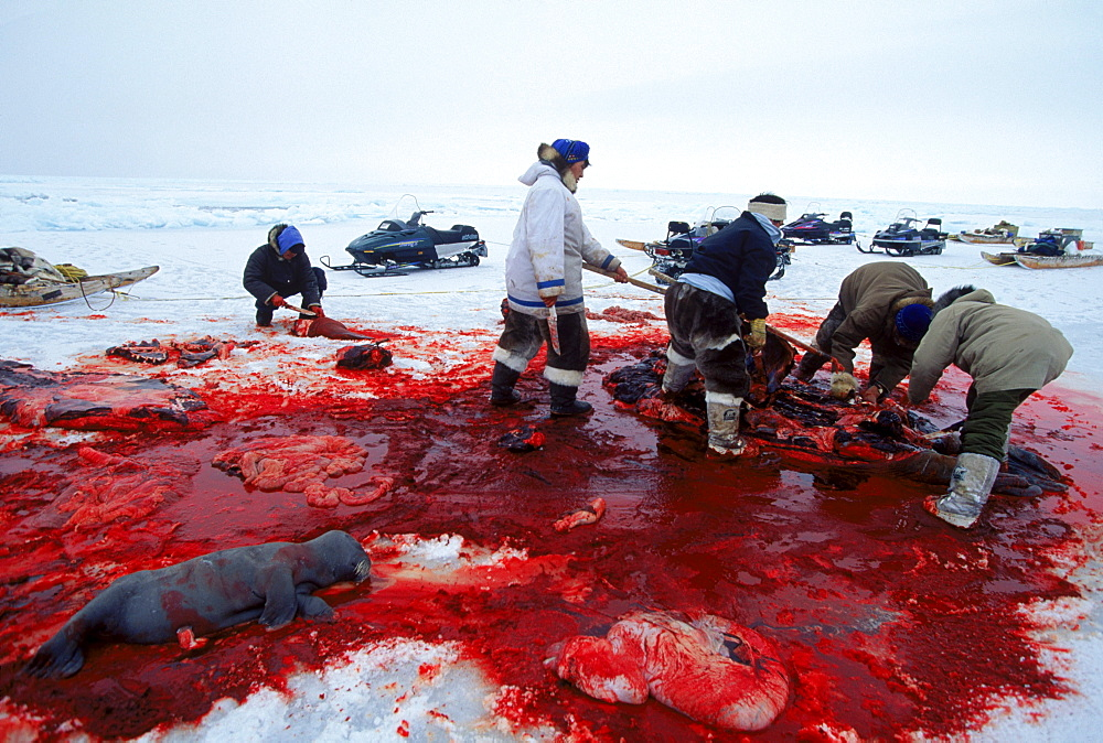 Hunters from Igloolik butcher a walrus. The walrus was female and had a baby inside.