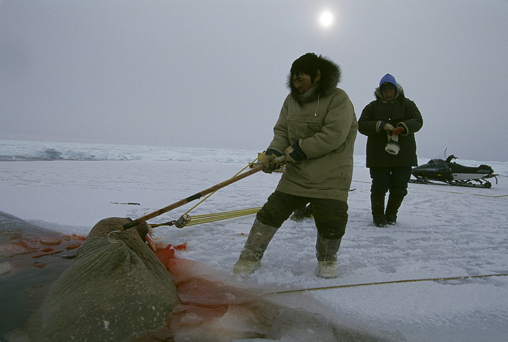 A number of hunters go out together to hunt walrus. They shoot the walrus and harpoon it and haul it in.