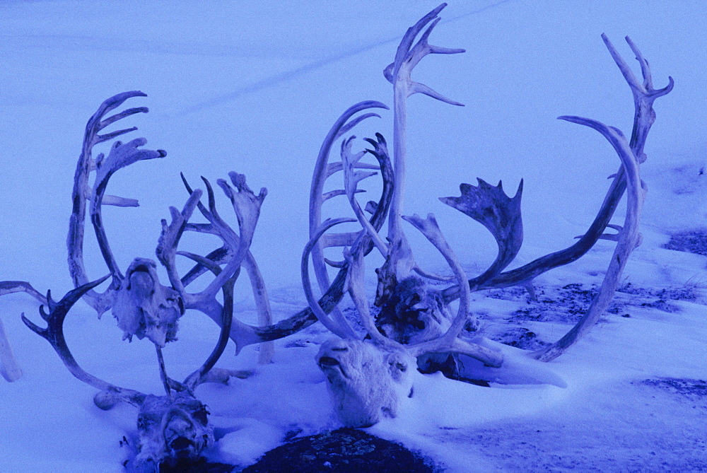 Caribou antlers and skull on Baffin Island, Canada.