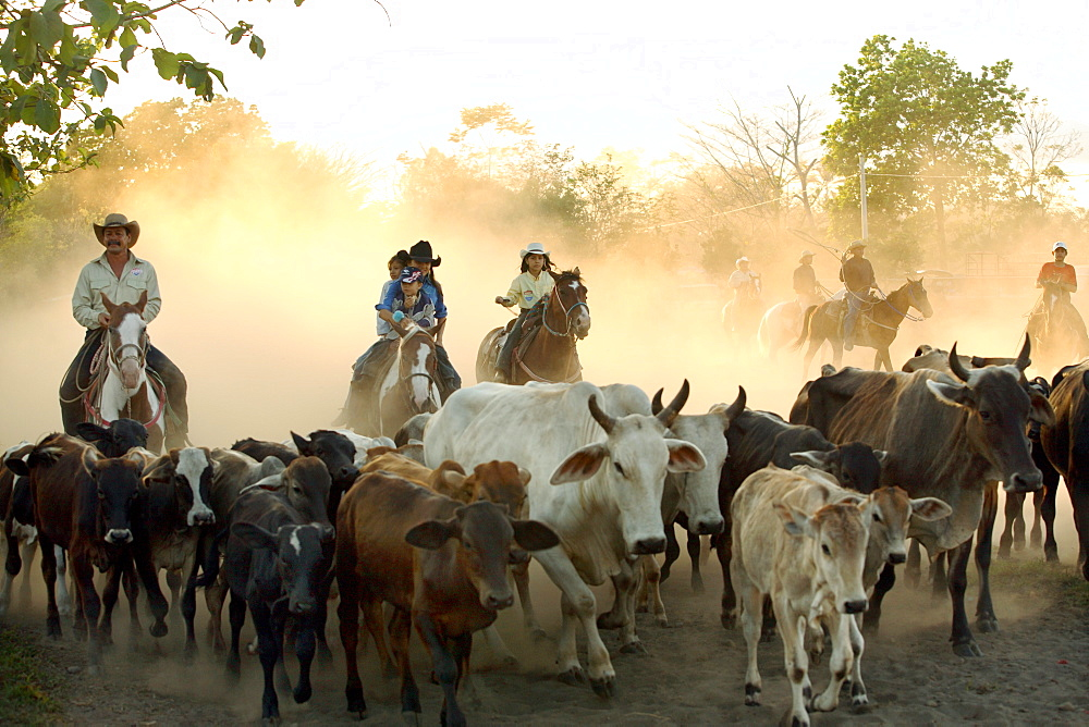 A cowboys round up calfs at a a lasso competition near Boquete, Panama