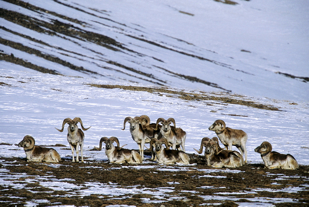 A group of Marco Polo sheep rams (Ovis ammon polii) relax on a bare patch on a snowy slope in the eastern Pamir Mountains, Gorno