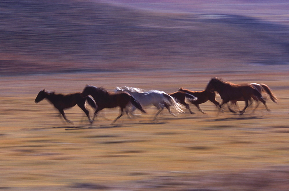 Horses being herded, Lesotho. (motion blur)