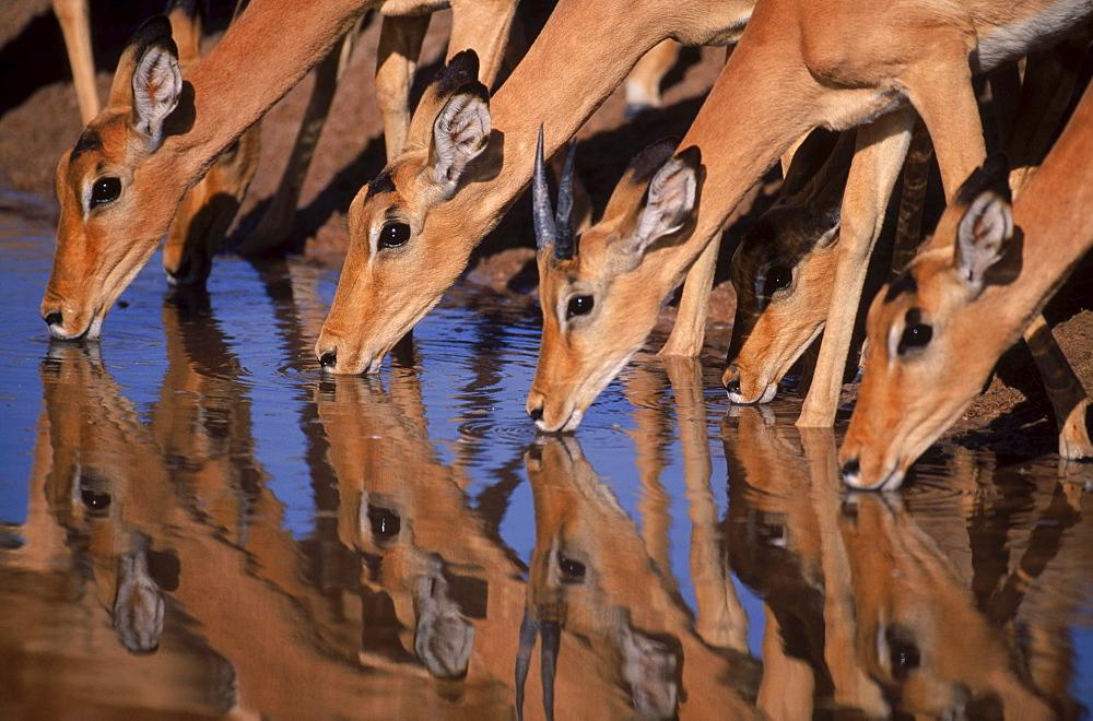 Impala Drinking, Botswana.
