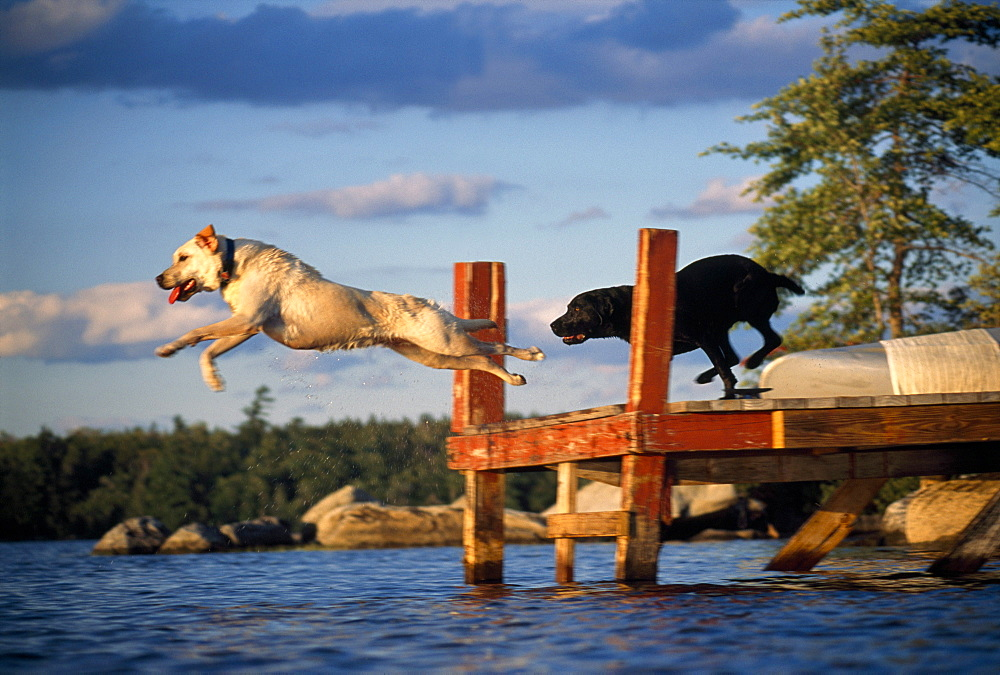 Two Labrador Retreiver dogs run and jump off the end of a dock into Squam Lake in New Hampshire in summer.