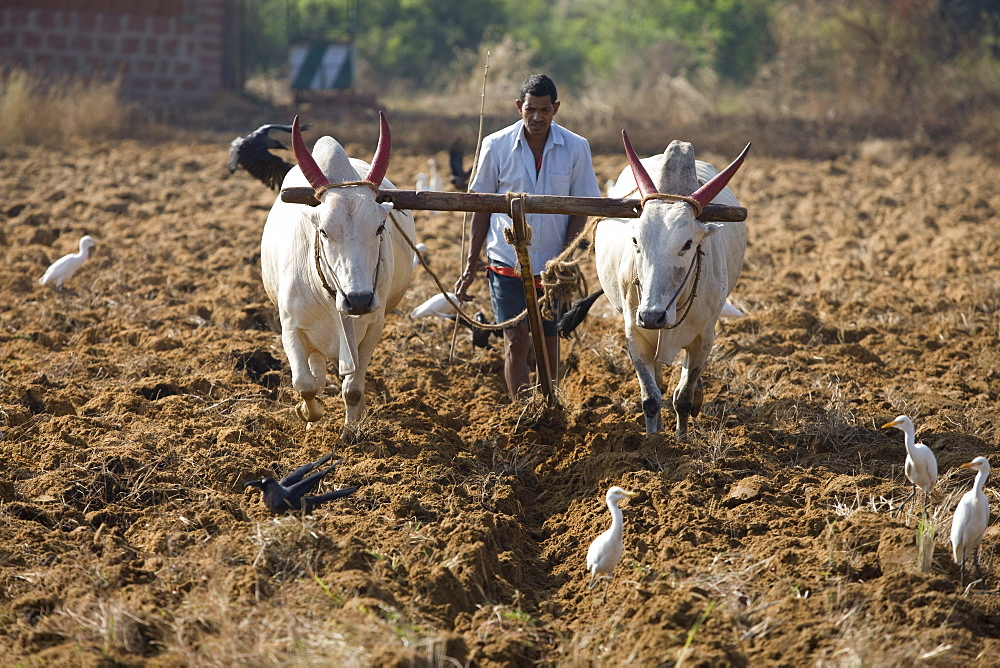 Agriculture in Goa.