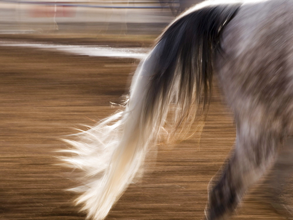 Tail of a horse riding in the warm up ring. (motion blur)