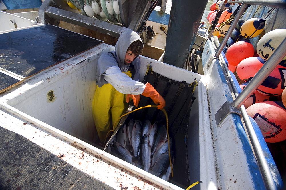 A fisherman prepares  bags full of sockeye salmon to be hauled on board the tender vessel.