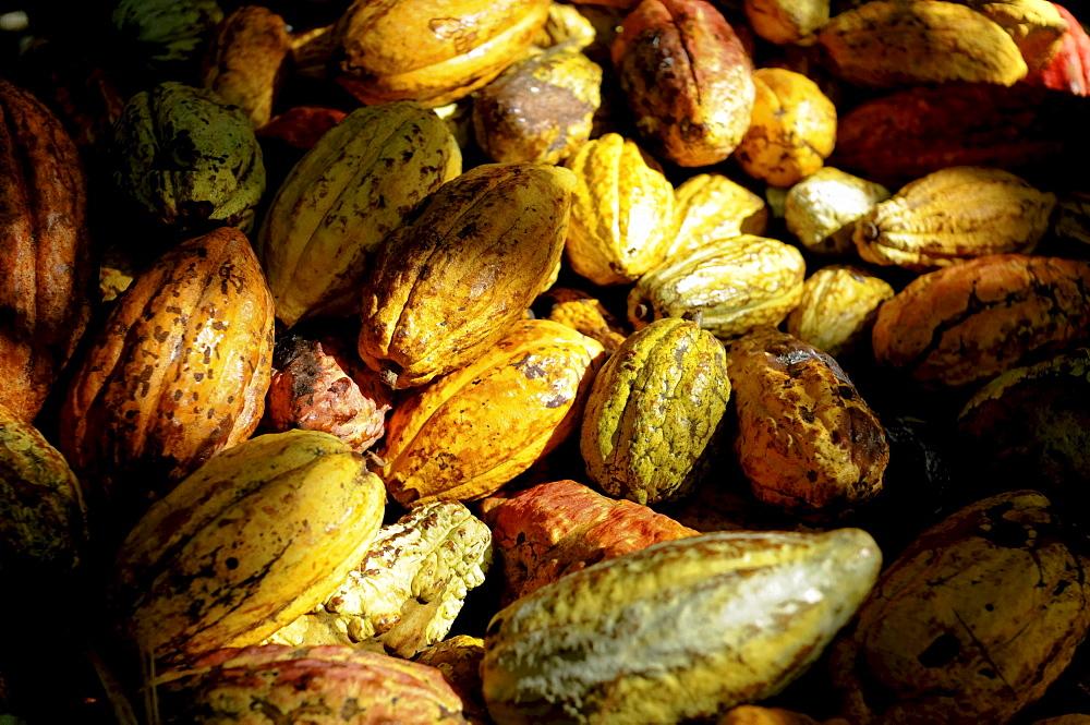 A pile of colorful Cacao (Theobroma cacao) pods in Choroni, Venezuela.