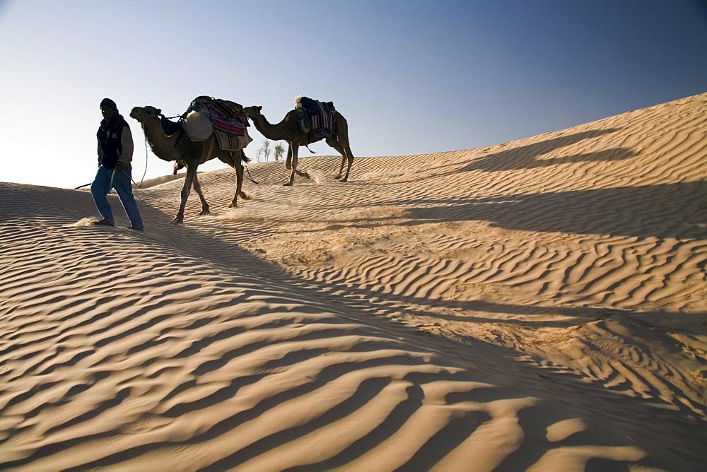 Camel trekking guide Nasser leads two camels (dromedaries) down a sand dune.