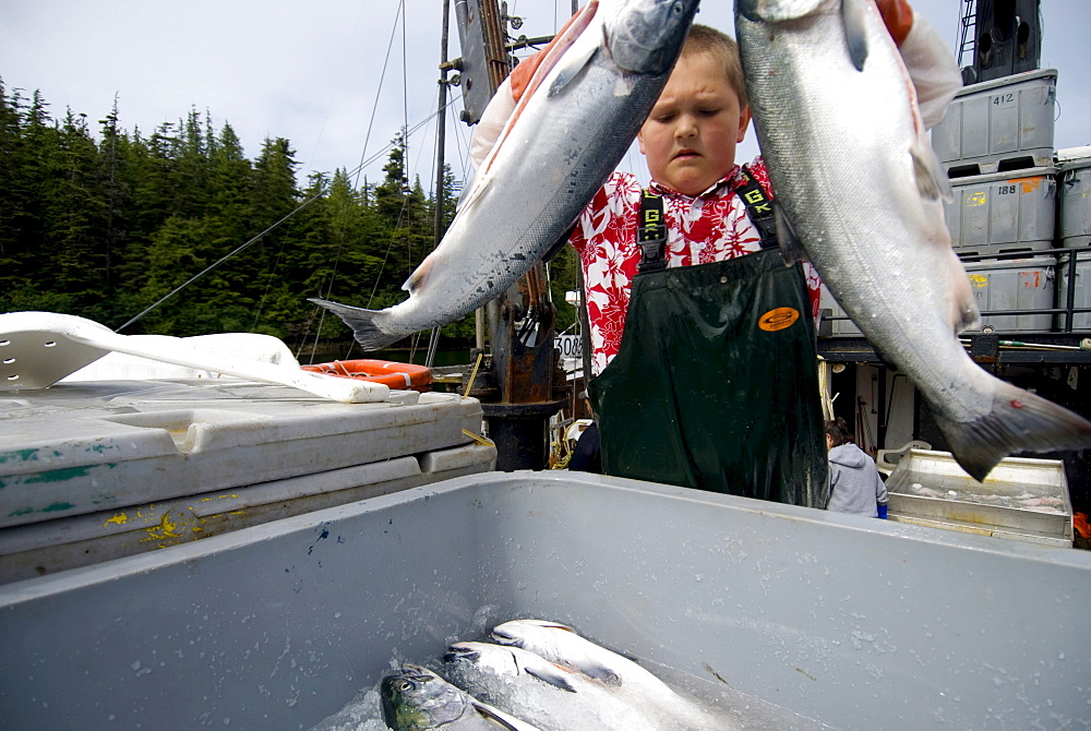 Packing coho on a troll tender off the coast of Alaska.
