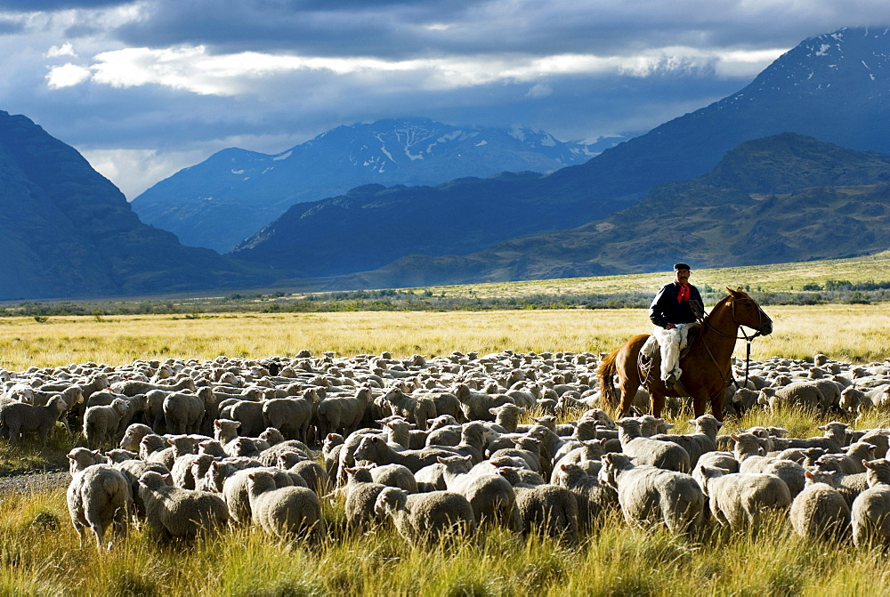 Patagonia Gaucho herding sheep on Estancia Chacabuco, Patagonia.