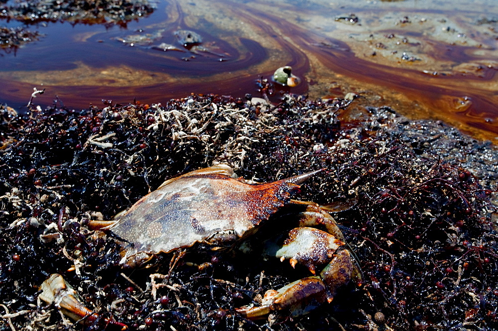 A dead blue crab amidst oil soaked beach and seaweed.