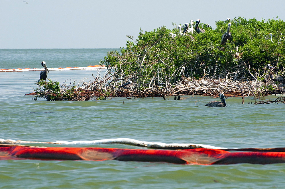 Oil booms surround the rookery of Queen Bess Island, a well known bird nesting sanctuary in Barataria Bay, now coated in heavy oil at the base of the mangroves.