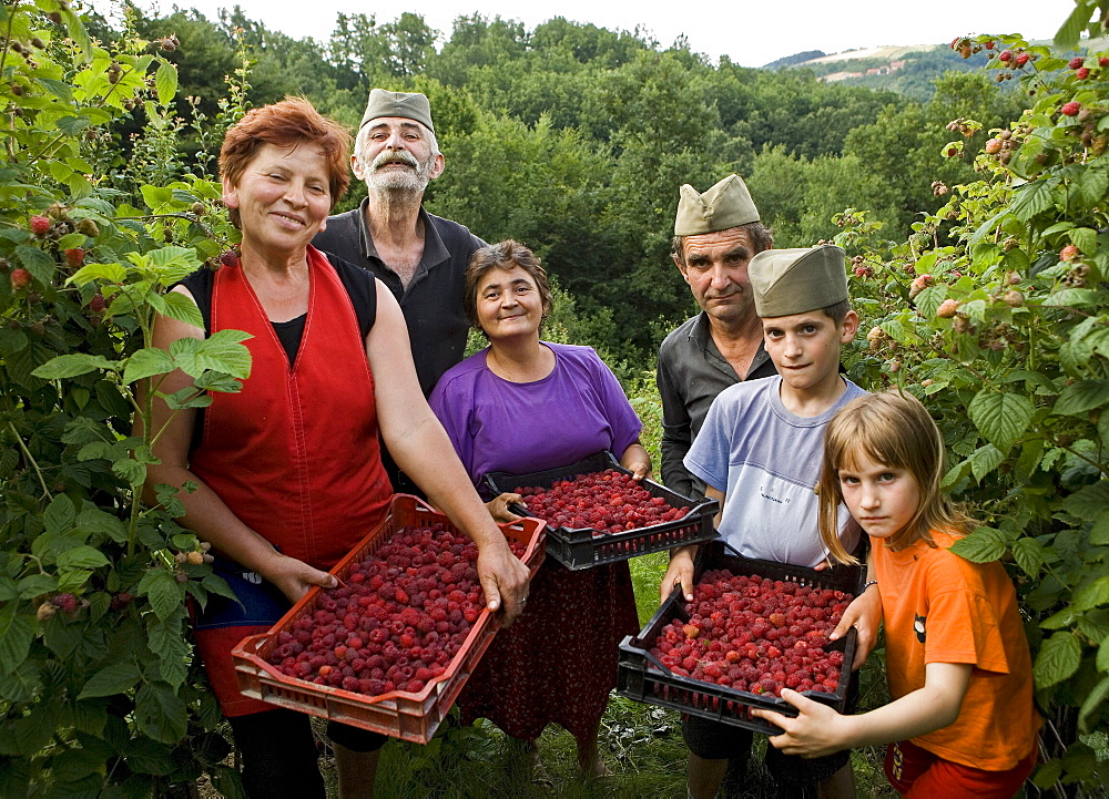 Serbian villagers in the hills outside Valjevo hand pick red raspberries (Rubus idaeus). Serbia grows the Willamette and Meeker varieties, from Oregon and Washington States, USA, and Ampla from Netherlands. Serbia's raspberry exports comprise a third of t