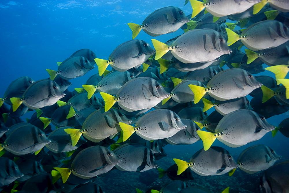 Large schools of Razor surgeonfish (Prionurus laticlavius), abound in the Galapagos Islands.