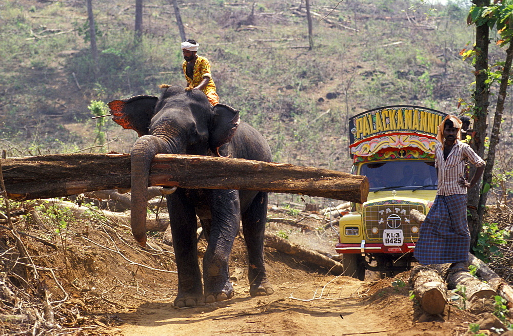 An elephant carries felled teak logs to stacking piles for pickup. Near the village of Cochin in Kerala, India, Asian elephants are used to log teak from a commercial plantation. The domestication and use of elephants in India is a tradition over 4,000 years old.