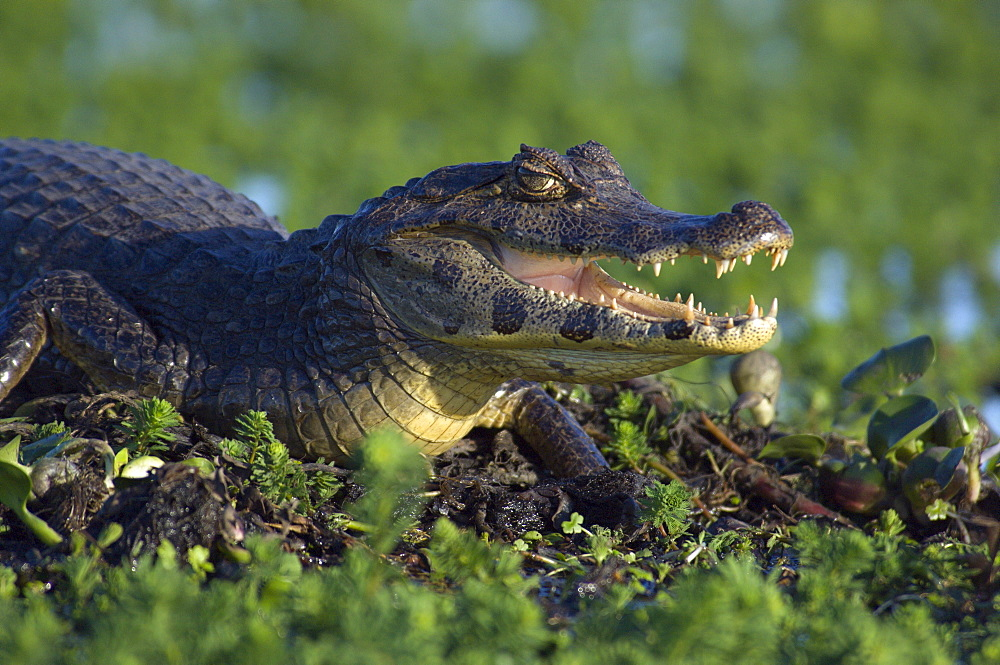 "A Yacare Caiman (Caiman yacare) or ""Yacar_ Negro"" basks in the sun among vegetation on a the edge of a floating island in Laguna Ibera, Ibera Natural Reserve, near Colonia Carlos Pelligrini, Corrientes Province, Argentina"