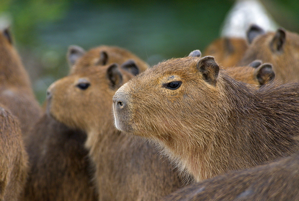 """A group of baby Capybaras (hydrochaeris hydrochaeris) or """"carpinchos"""", huddle together near a path at Estancia Rincon del Socorro, Esteros del Ibera, Corrientes Province, Argentina.  The estancia, once a working cattle ranch, is being converted into a nature preserve and is a haven for all kinds of birds and wildlife."""