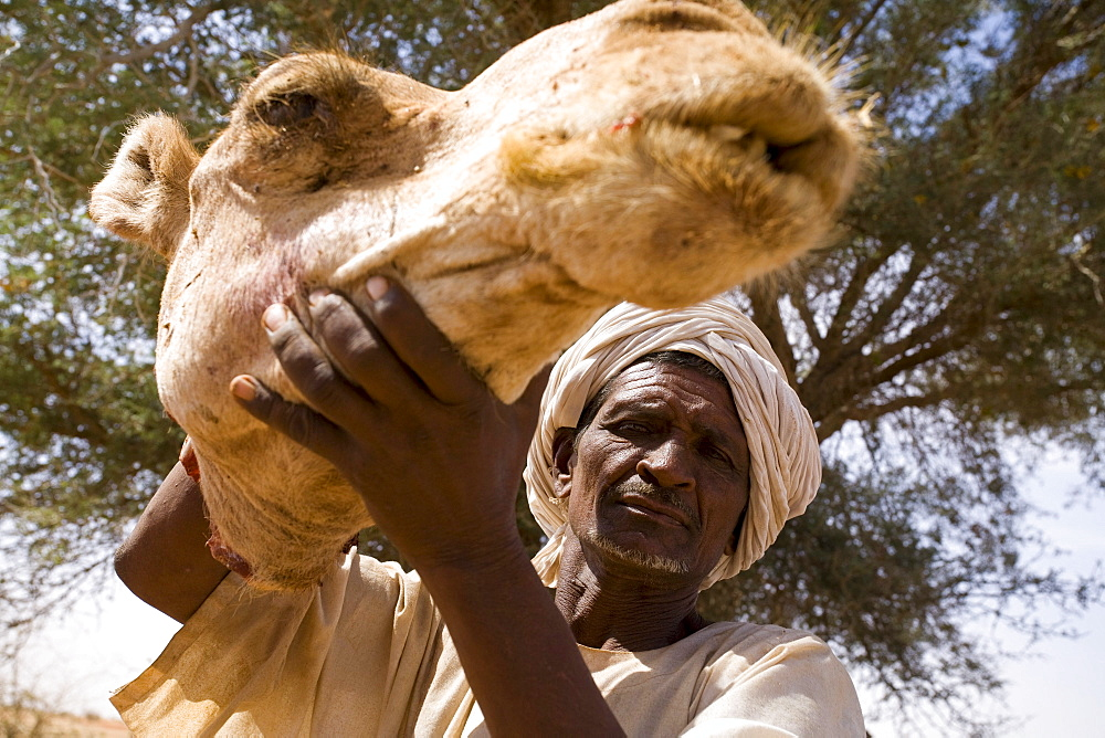 A member of the Shanabla tribe holds up a severed camels head up. The camel will be the main course at this wedding celebration outside El Obeid, Sudan. On February 15, 2006. The Shanabla are nomads and have no lands of their own. They raise camels to sell at market and are dependant on others lands for grazing.