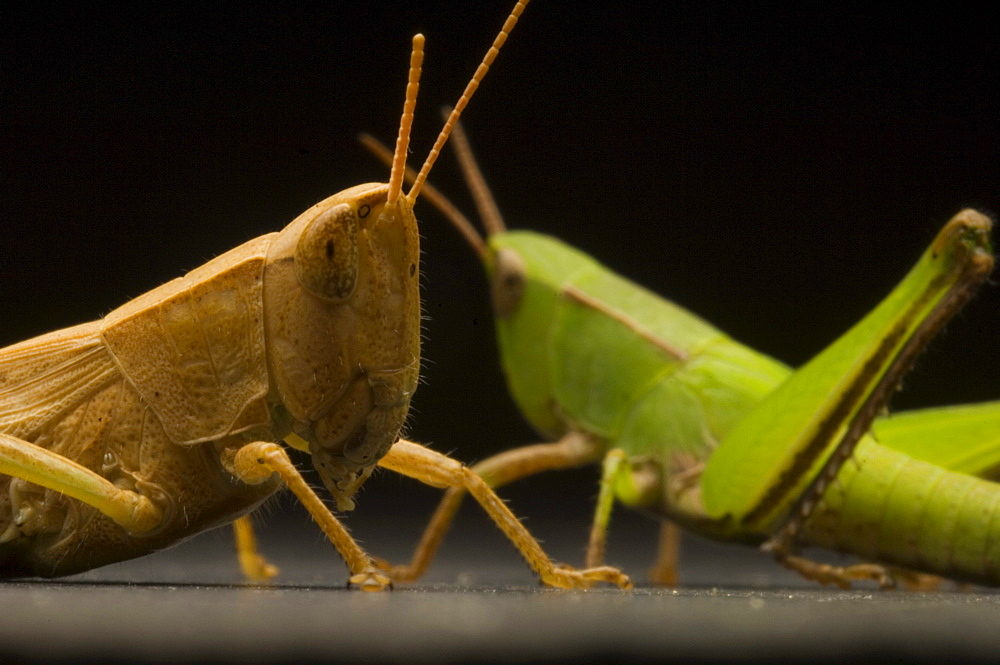 Grasshoppers are herbivorous insects of the suborder Caelifera in the Order Orthoptera. - 857-70194