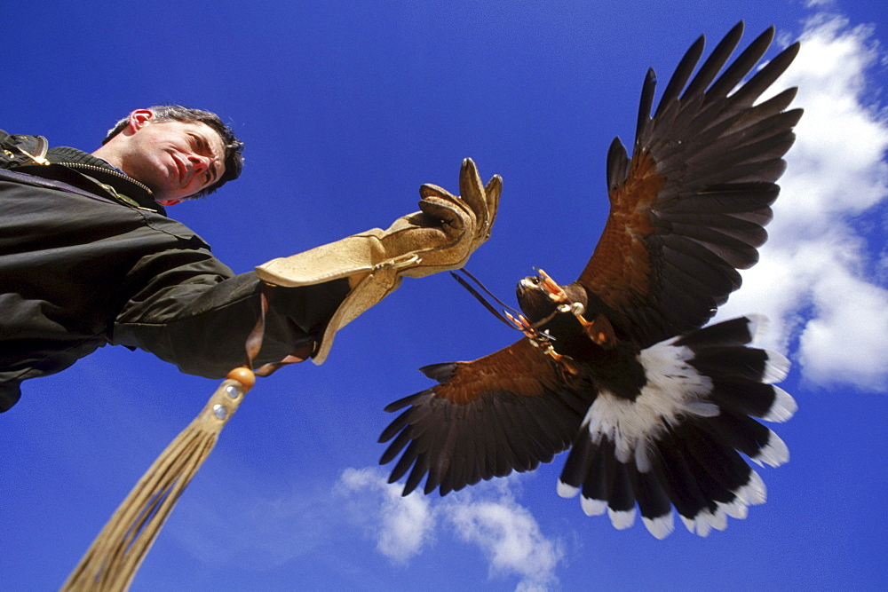 A Harris hawk gets ready to land on the fist of master falconer Robert Waite at the British School of Falconry in Manchester, Vermont. The Harris hawk, a southwestern United States species, is a very sociable bird and ideal for working in groups.
