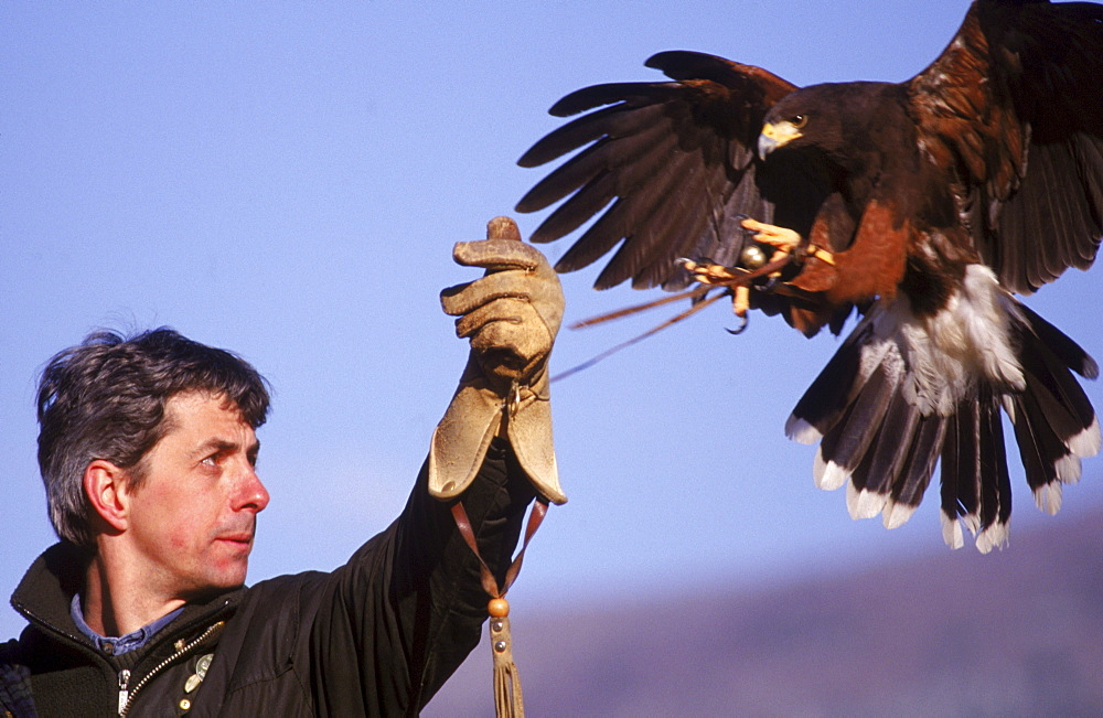 A Harris Hawk lands on the glove of Master Falconer at the British School of Falconry.