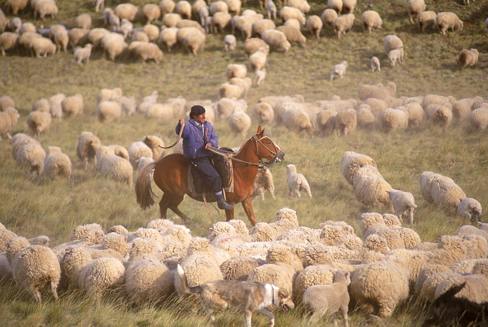 A gaucho yells and swings his crop to keep the sheep moving at Estancia Los Corrales.