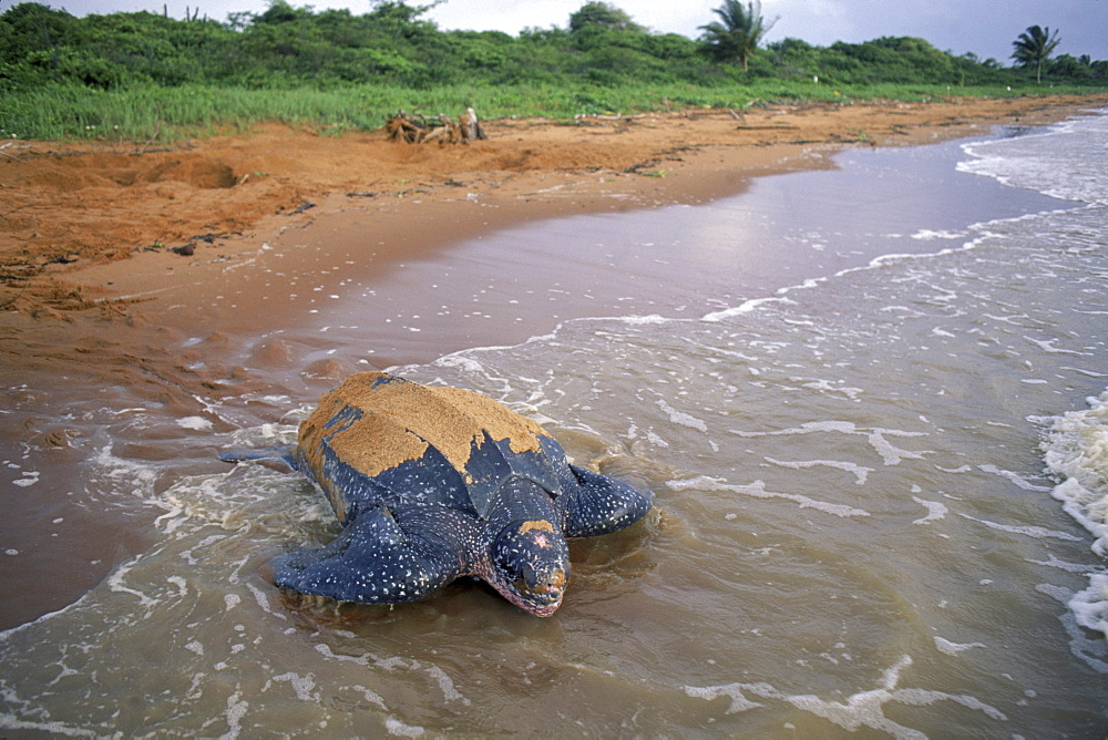 Leatherback turtle buries eggs on beach at Galibi Nature Reserve in Suriname.