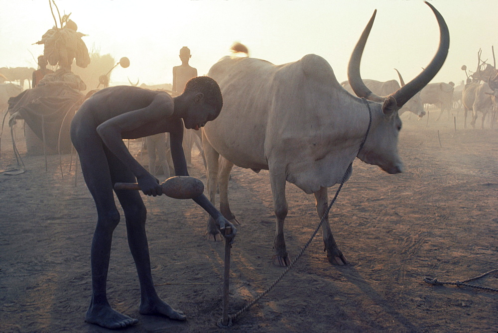 Boy drives a stake into the ground to tether a bull in a cattle camp in southern Sudan
